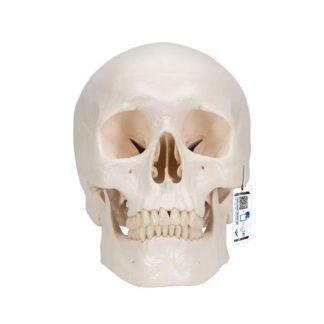 Perus kallomalli A20_01_Classic-Human-Skull-Model-3-part-3B-Smart-Anatomy