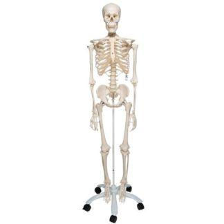 Perus Luurankomalli A10_01_Human-Skeleton-Model-Stan-3B-Smart-Anatomy