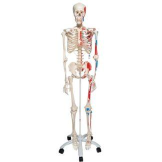 Luurankomalli lihastenkiinnityskohdilla A11_01_Human-Skeleton-Model-Max-with-Painted-Muscle-Origins-Inserts-3B-Smart-Anatomy