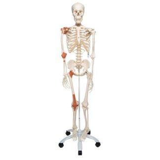 Luurankomalli nivelillä A12_01_Human-Skeleton-Model-Leo-with-Ligaments-3B-Smart-Anatomy